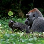 Gorilla Leaf