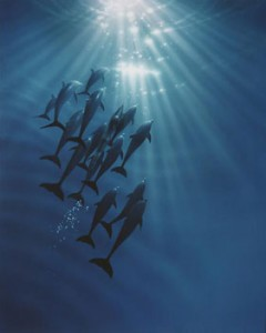 Dolphins gathering Left