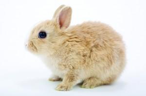 Rabbit iStock