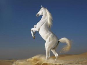 Free Spirit White Horse