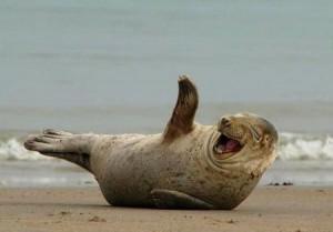 laughing_seal