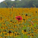 clasping+coneflower+meadow