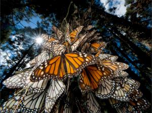 Butterflies-Tree