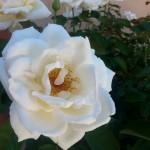 white rose october 2013 wildflower inn