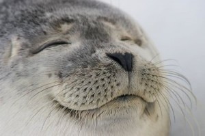 animal,seal,cute,adorable,happy,seals-1aafd536083f89c08a8c39e8a2262e6f_h