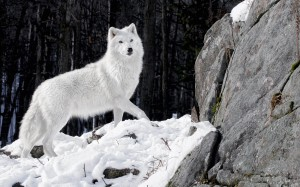photo-of-a-white-wolf-in-the-winter-with-snow-and-a-big-rock-hd-wolves-wallpapers