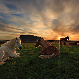 Horses Field Sunset