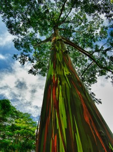 amazing-trees-The Rainbow Eucalyptusin Kauai, Hawaii