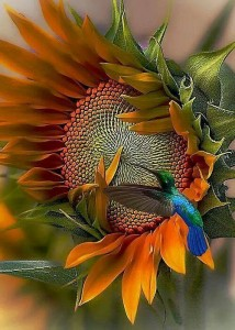 hummingbird sunflower in colours