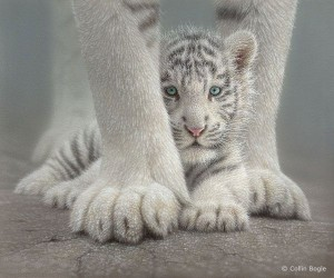 White Tiger blue eyes.Collin Bogle